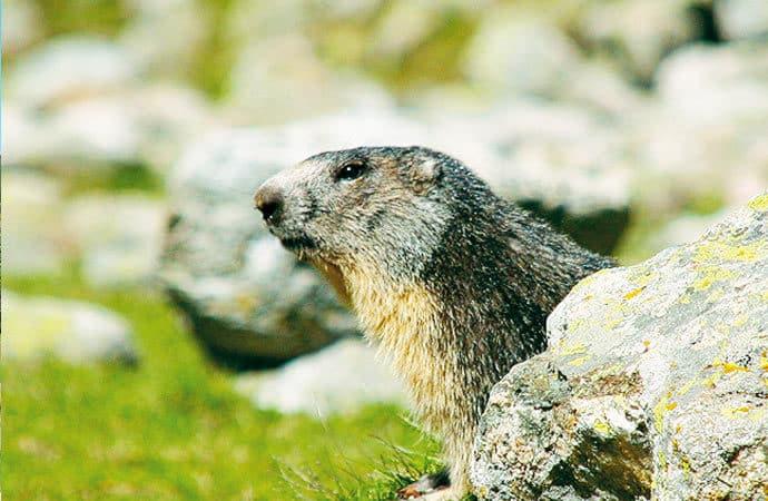 Image marmotte-montagne Classe de découverte Côté Découvertes