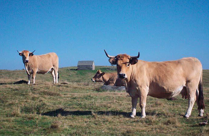 Image vaches-aveyron Classe de découverte Côté Découvertes